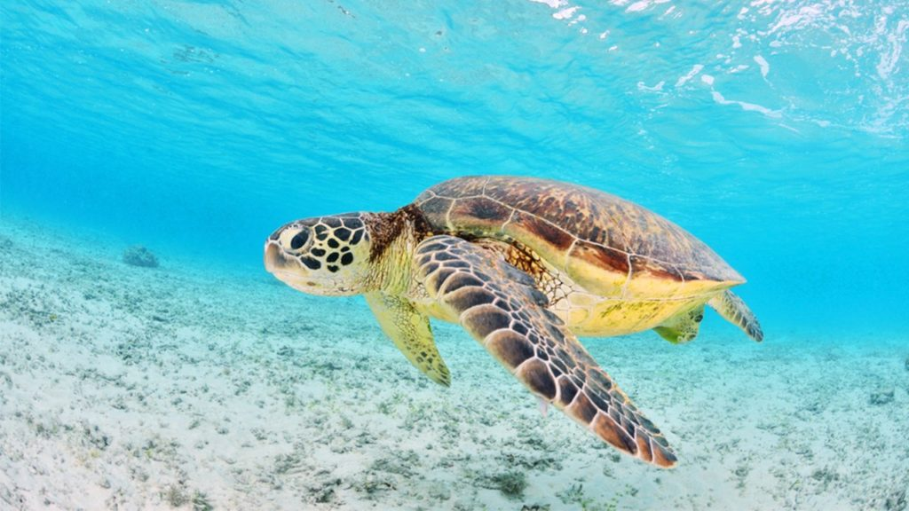 caneel turtle